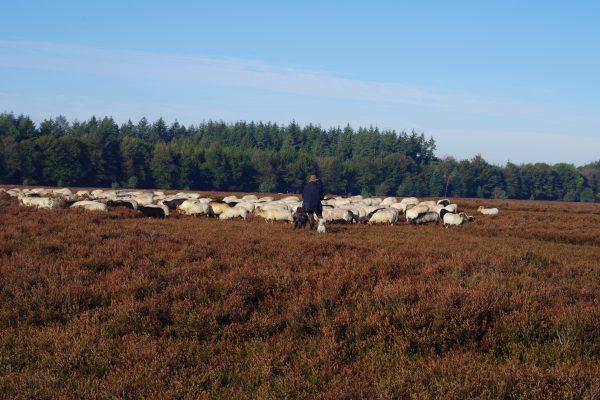Schaapskudde Exloo met herder - Fietswandelvakantie.nl